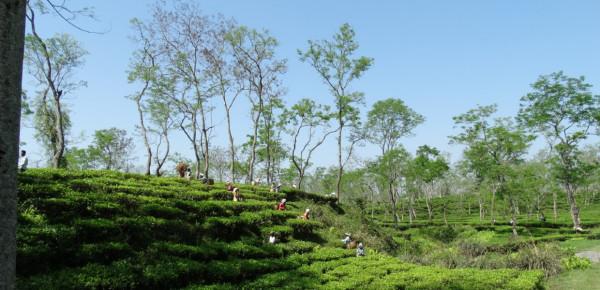 India-Assam-Darjeeling-BLOGfBmBEJzc3zsaQ